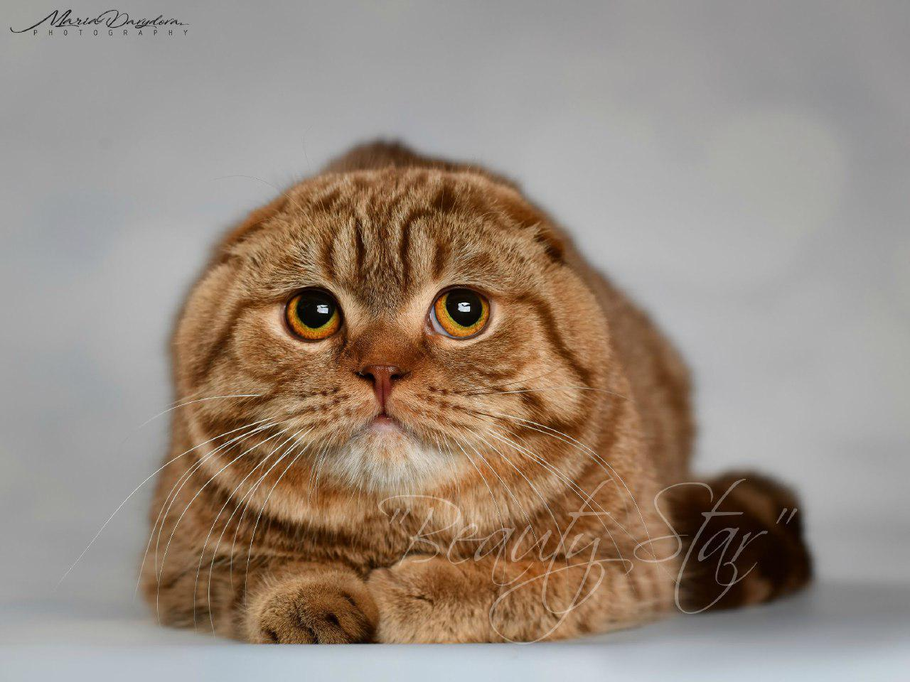 Males Cats Producers Of Cattery Beauty Star Scottish Fold And Straight